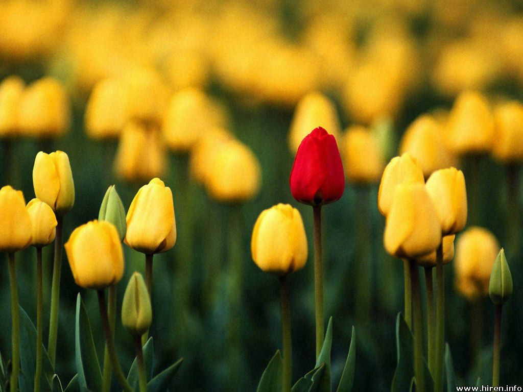 yellow-tulips-field-4